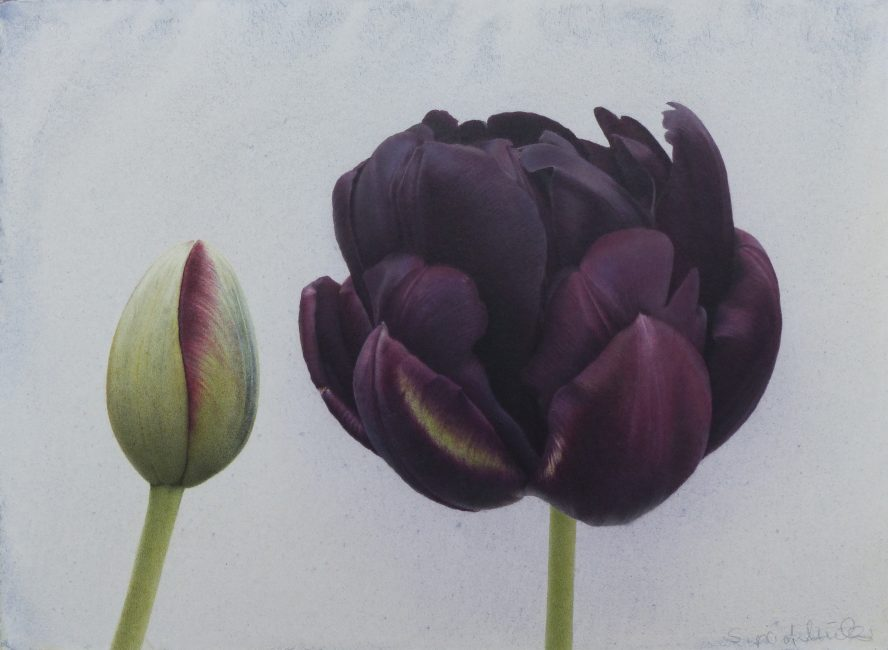 Sigrid Muller - Black Tulips - Pencil Crayon and Watercolour on Board - 8.5 x 11.5 inches